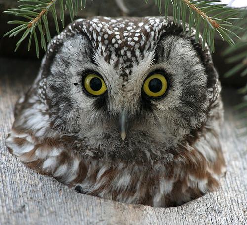 Boreal Owl - Aegolius funereus