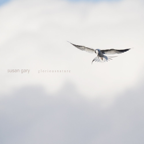 Whispery White Tern for Isabelle | by *GloriousNature*bySusanGaryPhotography