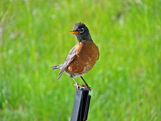 American Robin | by Laura Erickson