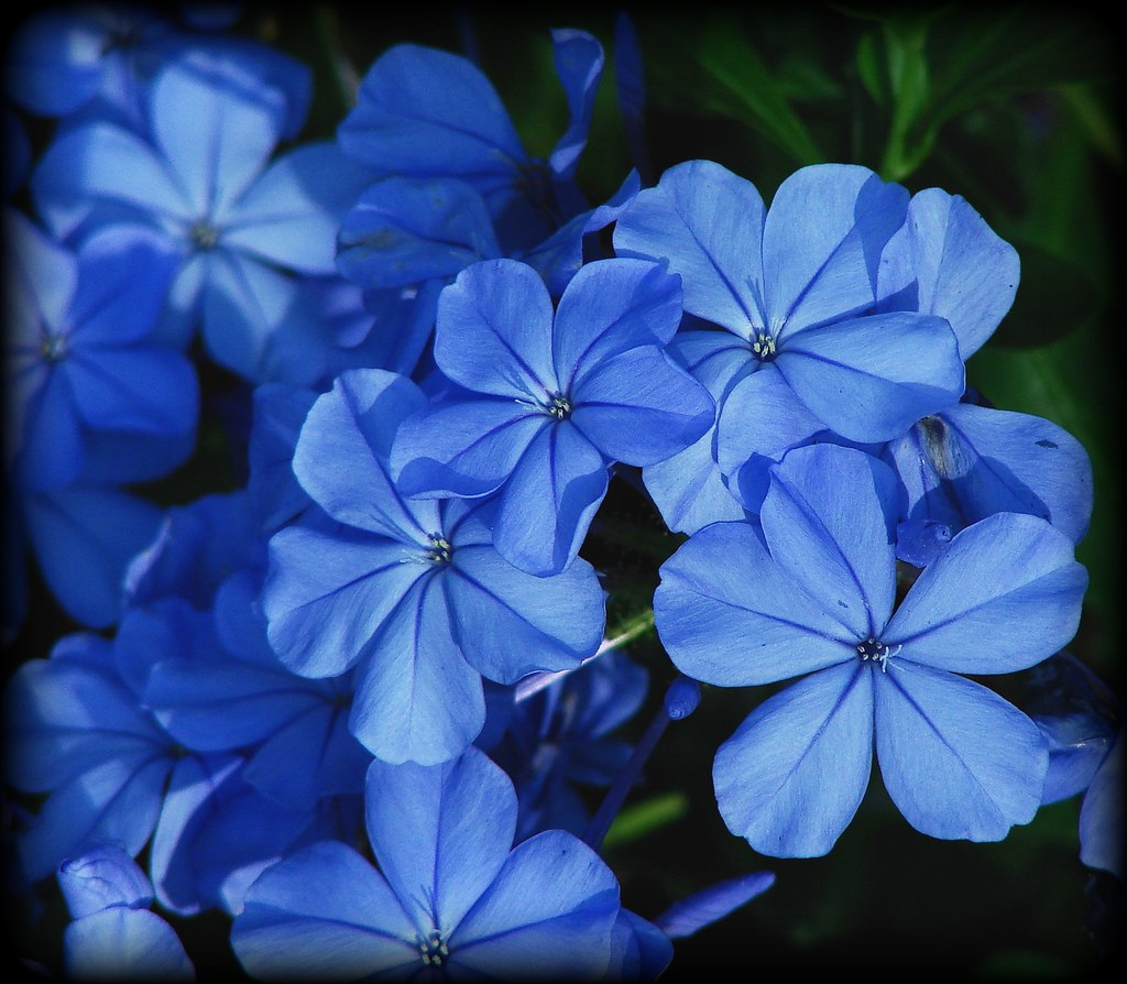 By Ruthalice43 Pretty Blue Flowers