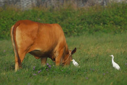 cattle egret and grazing relationship quiz
