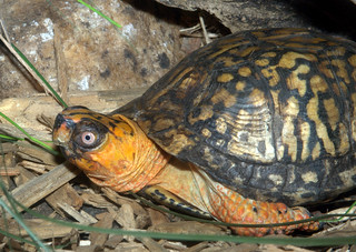 Eastern box turtle | by heosemys