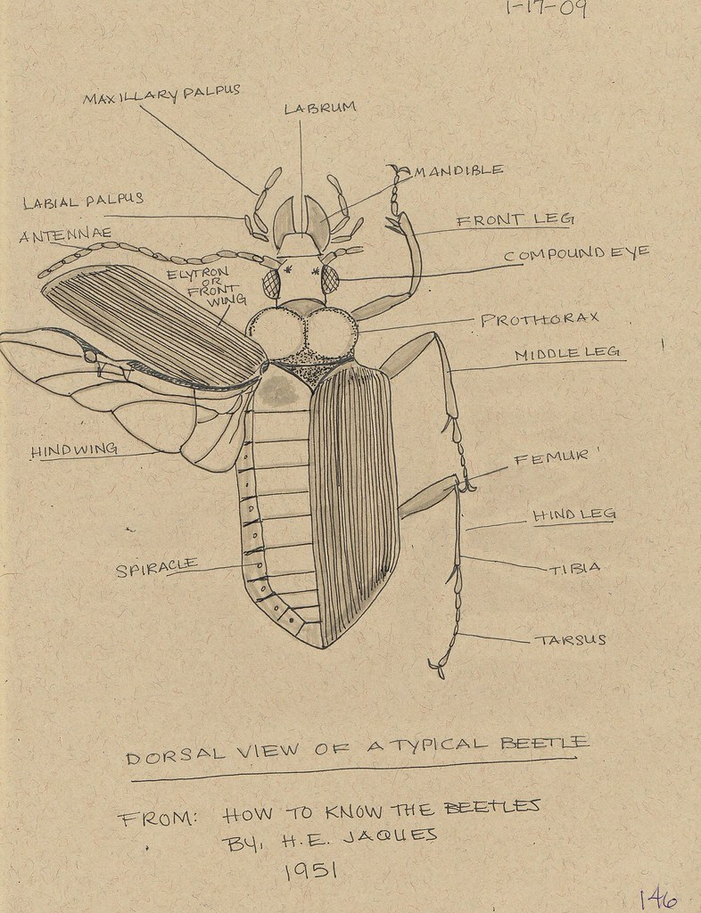 Beetle Anatomy 2 | The dorsal view of a typical beetle. From… | Flickr