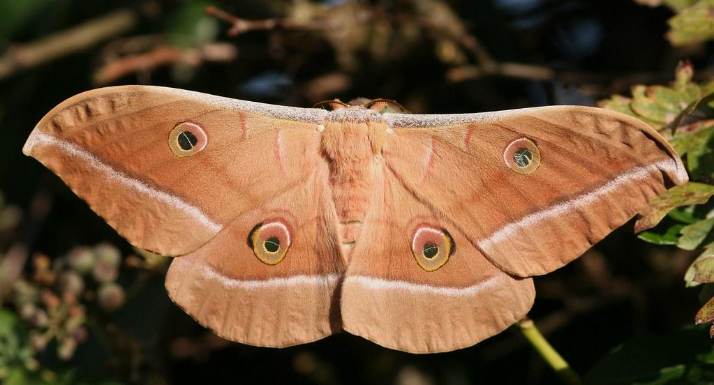 Chinese oak silk moth