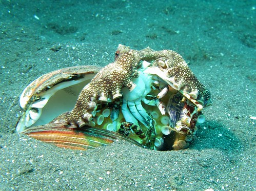 Veined Octopus - Amphioctopus Marginatus eating a Crab | by prilfish