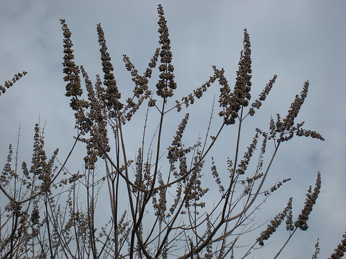 Vitex angus-castus pods | by Metricula