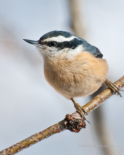 Red-breasted Nuthatch | by Von Taylor