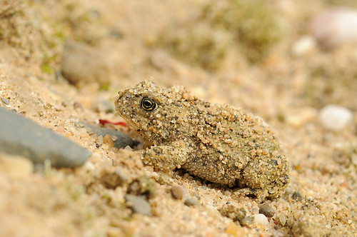 Natterjack Toad - Bufo calamita | by m. geven