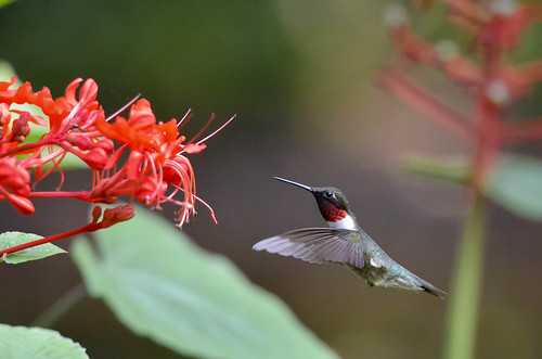 Ruby Throated Hummingbird !! | by chrisdupe