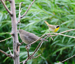 Common Yellowthroat with Juvenile Cowbird | by Darin Ziegler