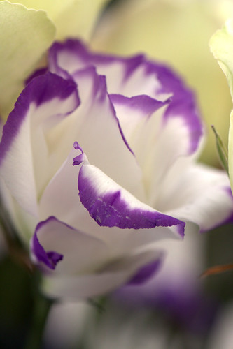 Eustoma Echo Blue | by Bibi015