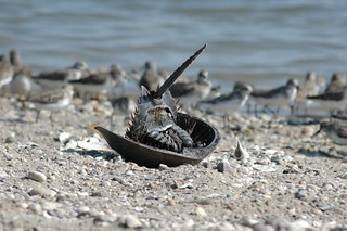 Horseshoe Crab | by U. S. Fish and Wildlife Service - Northeast Region