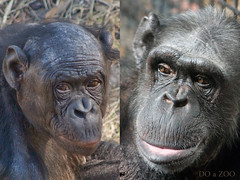 Bonobo & Chimpanzee Mother Comparison | by Evan Animals