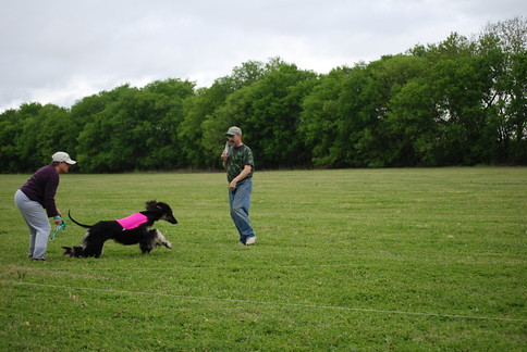 Afghan Hounds   Lure Coursing Event sponsored by the Alamo ... Afghan Hound Lure Coursing