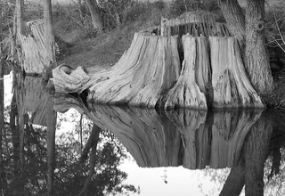 Krause Springs huge stumps Austin Texas | by MJK72