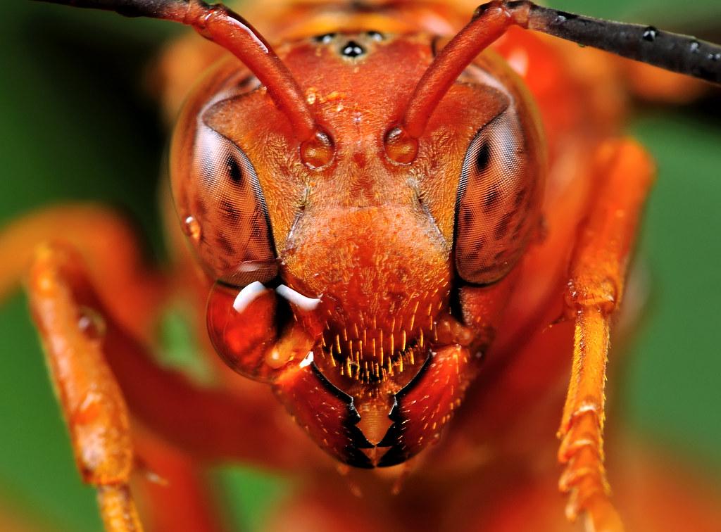 red wasp portrait polistes carolina view on black tak flickr