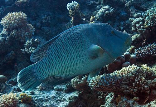 Napoleon Fish | AKA Giant Humphead Wrasse (Cheilinus ... | 500 x 343 jpeg 102kB