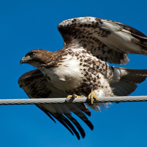 Hawk Ready To Eat Poor Kid