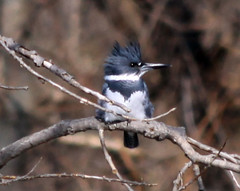 Belted Kingfisher | by Laura Erickson