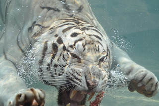 Odin - underwater diving white Bengal tiger | by Noli Doody