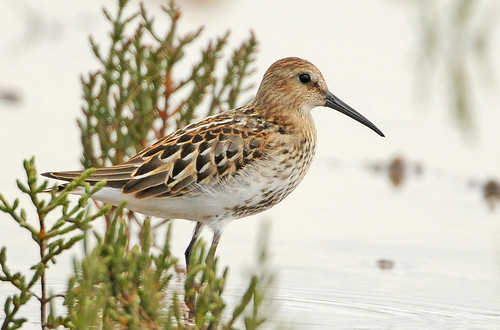 Dunlin and samphire | by Brian Rafferty