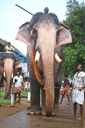 bdo how to get an elephant
