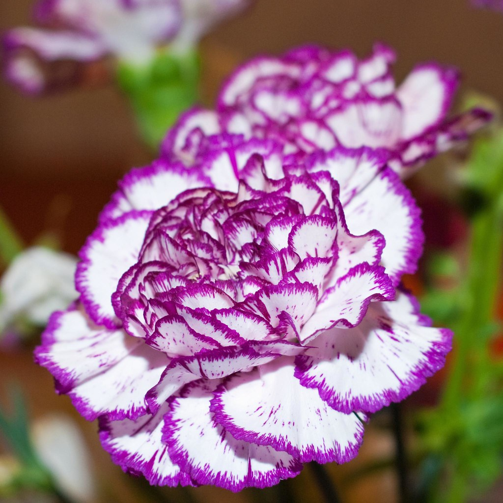 Purple And White Carnations Welcome To Flickr Flower Tuesd Flickr