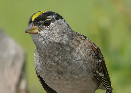 Golden-Crowned Sparrow | by goingslo