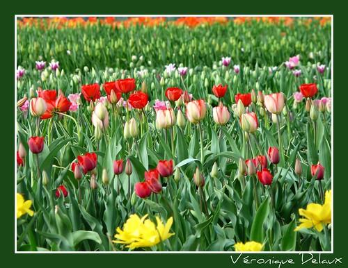 Champ de tulipes ferme de gally yvelines ferme de gally flickr - Ferme de gally yvelines ...