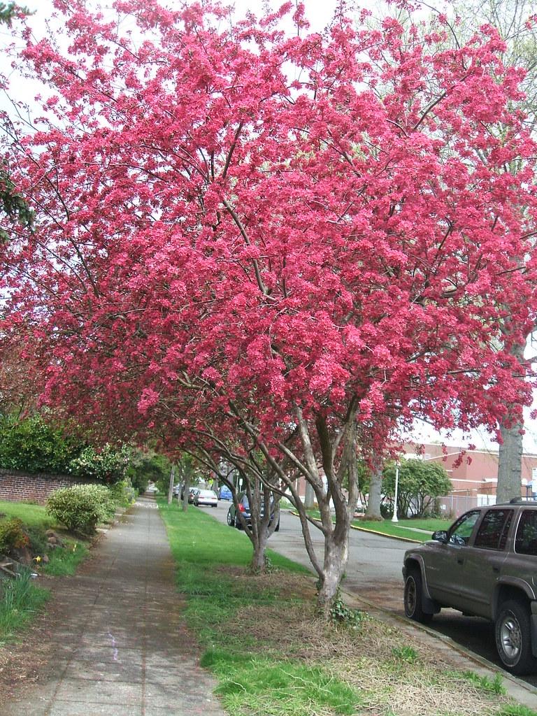 Powerful pink flowering crabapple trees greenwalkswordpre flickr powerful pink flowering crabapple trees by greenwalksblog mightylinksfo