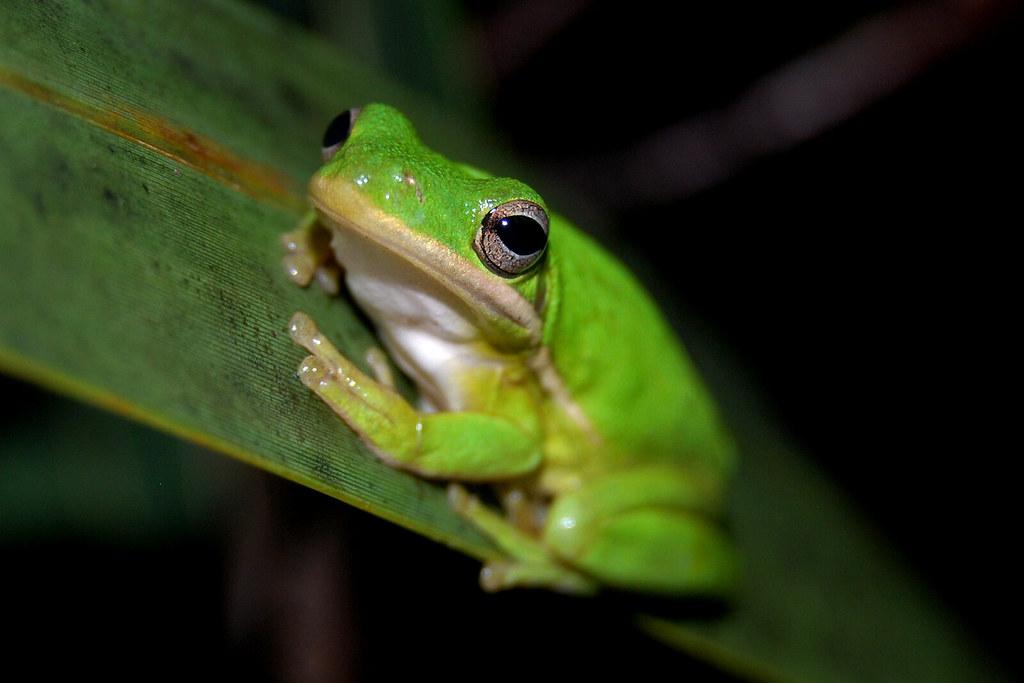Everglades Safari Park, South Miami Heights, Florida - Bull frog....