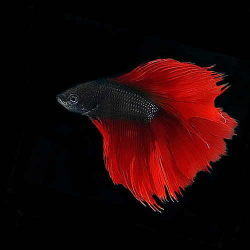 Scarlet Red Betta Explore Highest Position 54 On