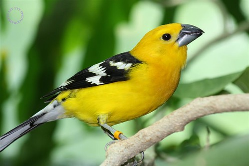 Yellow Grosbeak or Mexican Yellow Grosbeak | by ♀♥☺Sherri Langford☺♥♀ SWF :)