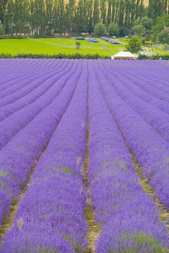 Lavender Fields Kent | by jimhellier