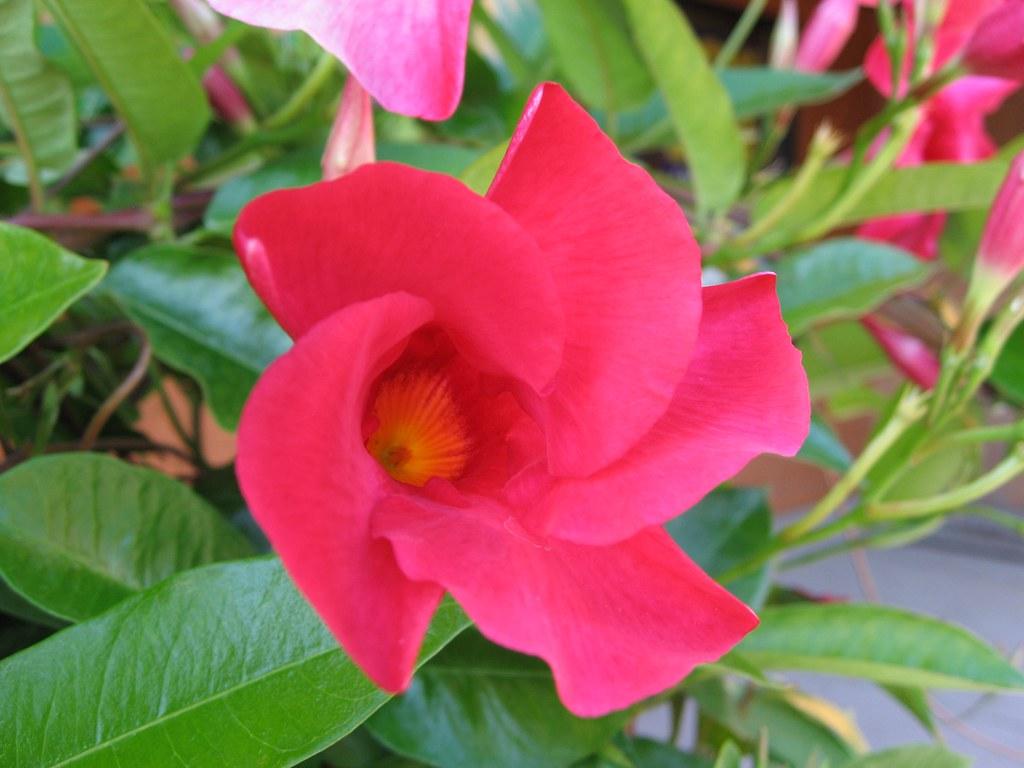 Mandevilla Sanderi Sun Parasol Crimson Beautifulcataya Flickr