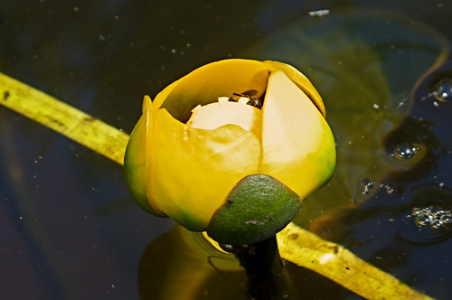 Yellow Pond Lily (Nuphar variegata)