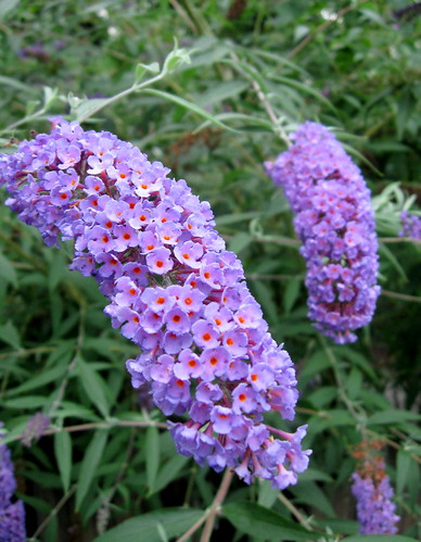 Buddleia (Butterfly Bush) | by Puzzler4879