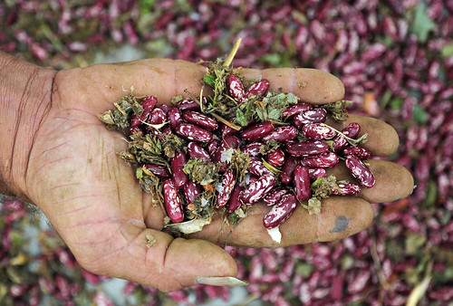 Beans - Darien (contd) 18 | by CIAT International Center for Tropical Agriculture