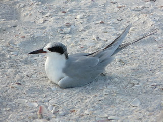 Forster's Tern | by jweckst