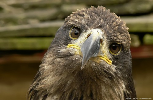 Poor sad eagle | by Nemodus photos