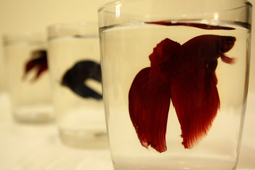 fighting fish | by diet_974