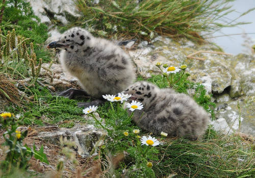 Herring Gull Chicks (Larus argentatus) at Bempton Cliffs | by Steve Greaves