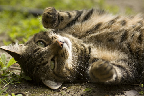 Tabby rolling in dirt | by Derek Bridges