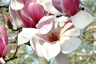 Magnolias 2 | by oldog_oltrix