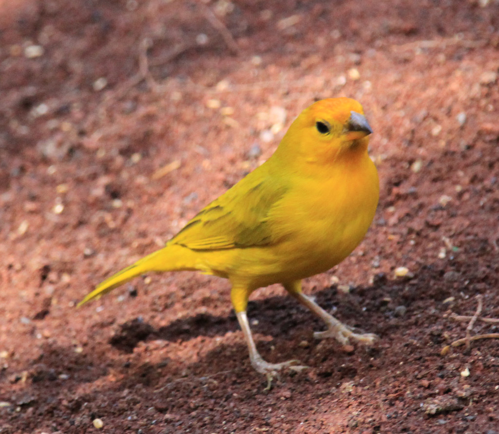 3311732093_d2869d2849_b How Canaries May Help You Avoid Diabetes