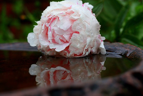 Its definitely Peonie weather! | by Jacqui Blakey