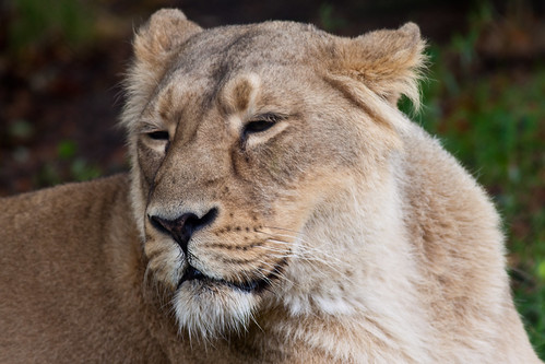 Asiatic Lioness at Chester Zoo. | by patrick-walker