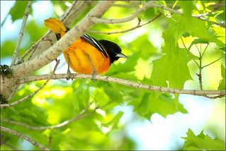 Baltimore Oriole | by Jeannot7