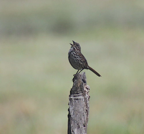 song sparrow at sweet springs | by minicooper93402