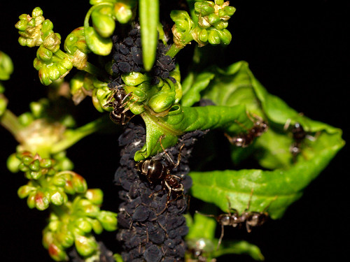 how to get rid of black bean aphids